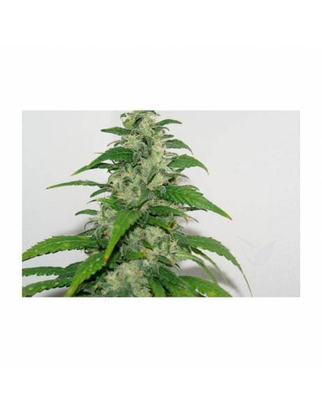 Yummy |3x semillas feminizadas | Resin seeds.
