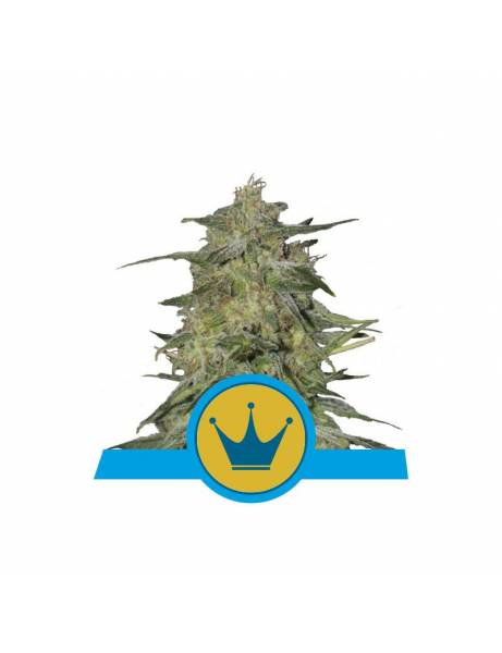 Royal Highness CBD |Royal...