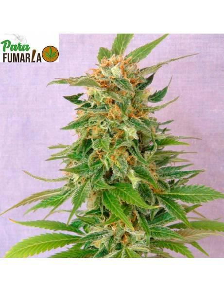 Ginger Punch Auto- Kannabia Seeds.