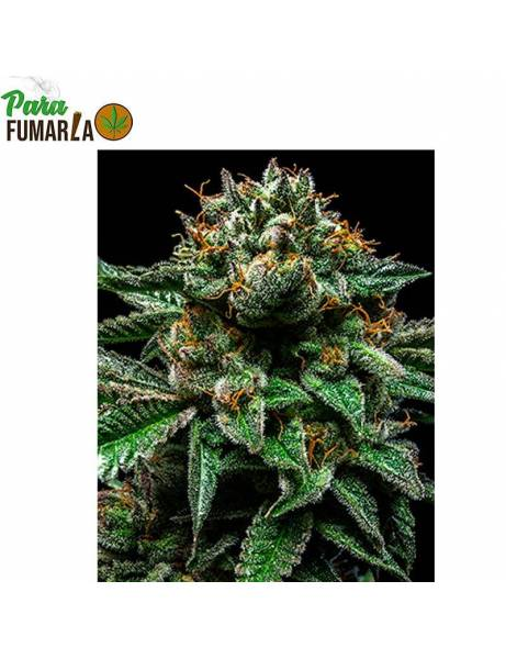 Chempie Feminizada- Ripper Seeds.