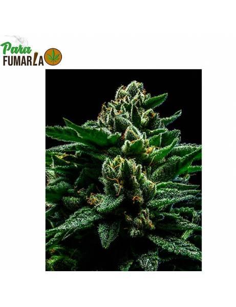 Do-G Feminizada- Ripper Seeds.