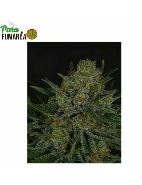Double Glock Feminizada- Ripper Seeds.