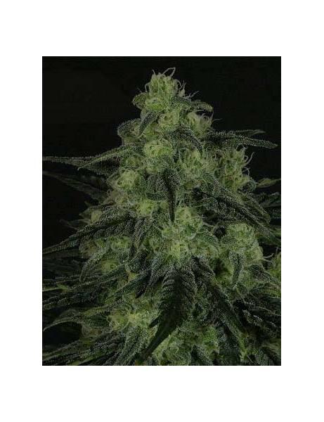 Black Valley Feminizada- Ripper Seeds.